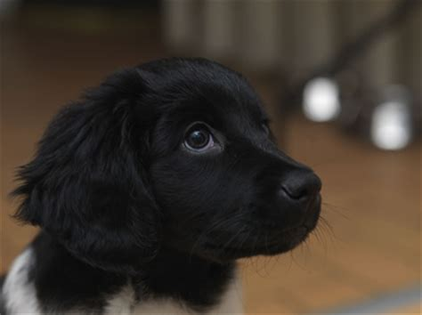 about puppies stabyhoun puppy stabyhoun uk