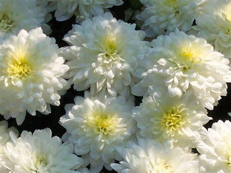 Chrysanthemen Vermehren by Chrysanthemen Pflege