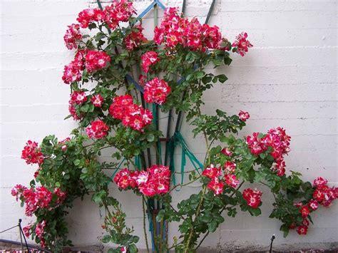 Hgtv Home Decorating Ideas 4th Of July Climbing Rose Gardens Pinterest