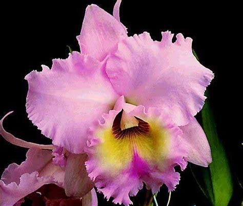 imagenes hermosas de orquideas orquideas flor de post taringa