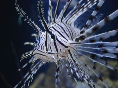 misunderstood marine life 5 lionfish southern fried