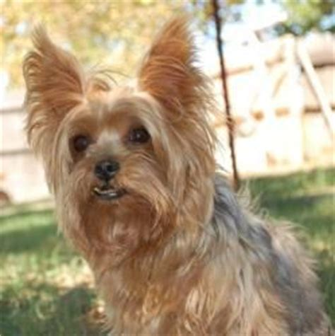 yorkie rescue oklahoma city best 25 terrier rescue ideas on terrier haircut