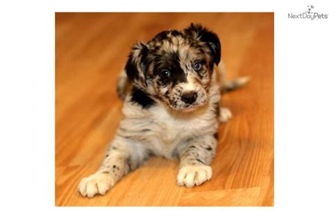 blue merle australian shepherd puppies for sale australian shepherd puppies blue merle for sale high wtntwz3d breeds picture