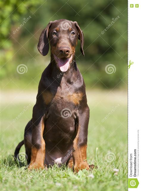 brown doberman puppies brown doberman puppies www pixshark images galleries with a bite