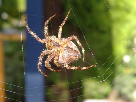 Garden Spider Wiki File Araneus Diadematus Underside 2 Jpg