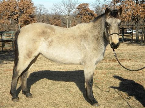 tulsa adoption blaze s tribute equine rescue tulsa