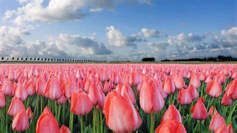 imagenes para fondo de pantalla de tulipanes co de tulipanes 1920x1080 fondos de pantalla y