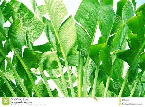 banana tree wallpaper download banana tree leaves royalty free stock image image 21765646