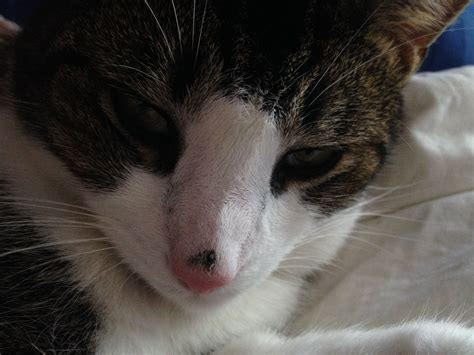 scab on s nose ringworm in cats on nose www imgkid the image kid has it
