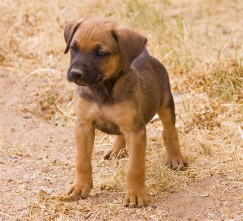 shepherd mix puppies boxer australian shepherd mix breed australian shepherd mix breeds picture