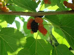 what type of berry tree is this possibly mulberry
