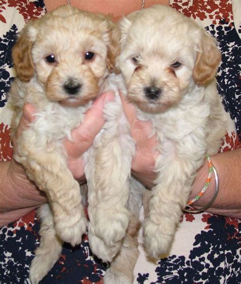 cavoodle puppies for sale cavoodle puppies for sale tetbury gloucestershire pets4homes
