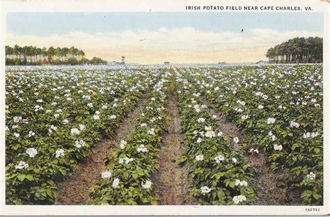 Crop Va potato field near cape charles va the