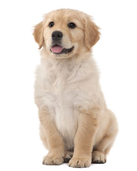 lifespan of golden retriever large golden retriever for sale photo