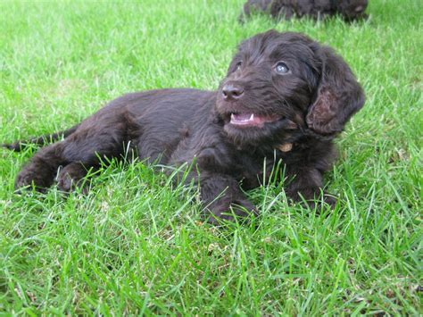 labradoodles puppies for sale hshire f1b medium labradoodle puppies nantwich cheshire
