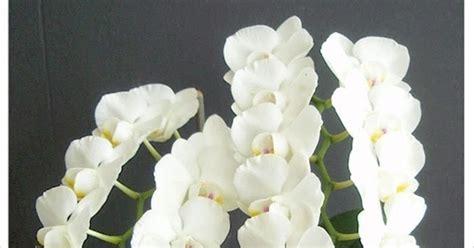 Pot Anggrek Bulan tanaman hias cara merawat dan budidaya tanaman hias