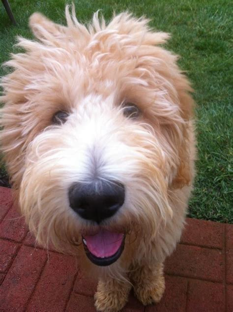 goldendoodle puppy vs an cube 45 best my goldendoodle carlos images on