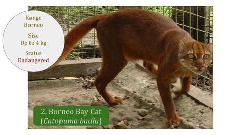 borneo bay cat asian wild cats bay cat lineage felidae wild cat family