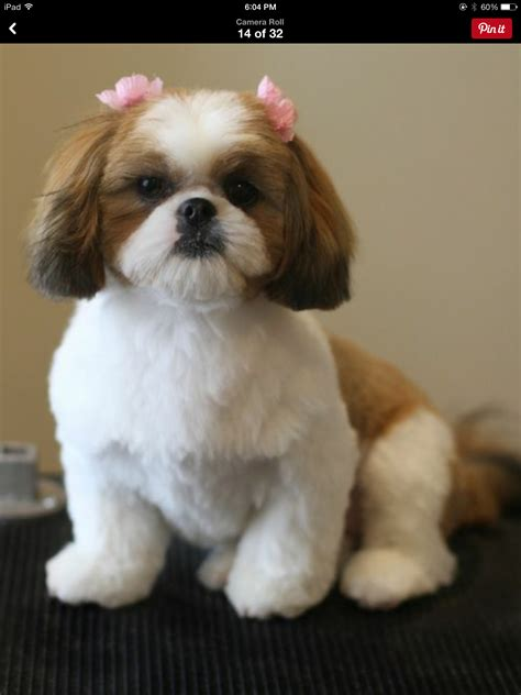 shih tzu puppies ri haircuts for dogs fade haircut