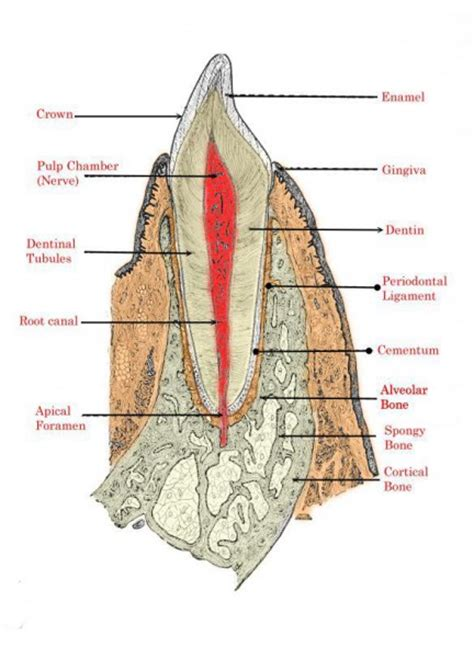diagram teeth teeth diagram diagram site