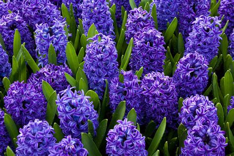significato dei fiori giacinto come coltivare fiori di giacinto scelte per te giardino