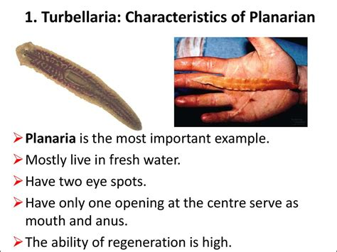 regeneration and pattern formation in planarians iii topic flatworms online presentation