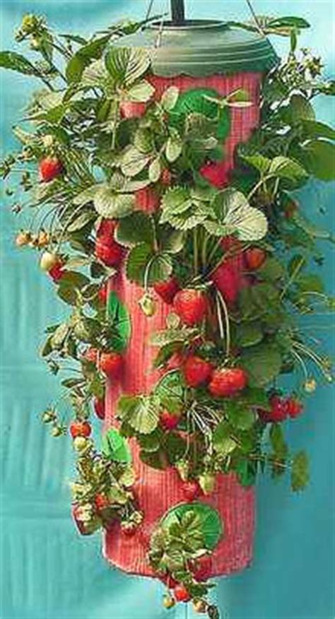Topsy Turvy Strawberry Planter by Millennium Ark News