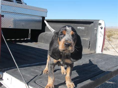 tick hound puppy bluetick coonhound puppy color genetics