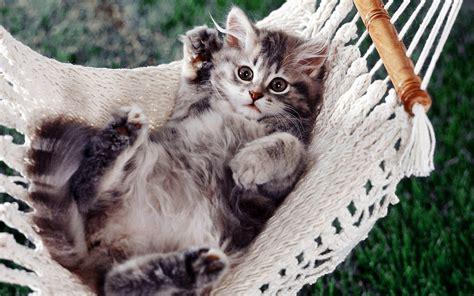 Kitten In Hammock cat resting in a hammock wallpaper