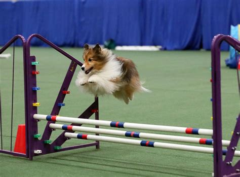how to a for agility trials agility trials the laurel of asheville
