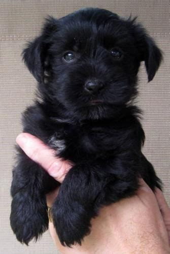 black yorkie poos yorkie poo puppies