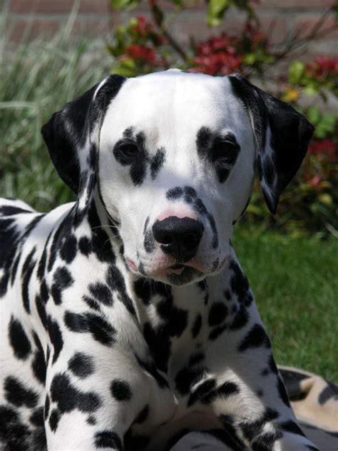 Maxi Mrc fotogalerie dalmatin