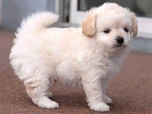 chi poodle lifespan chi poo health breeds at thepetowners