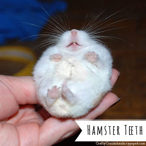 stay in the magic hamster crafty crookshanks