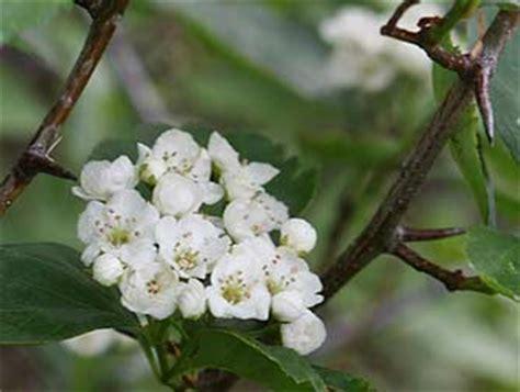 Black Hawthorn Bush Pictures