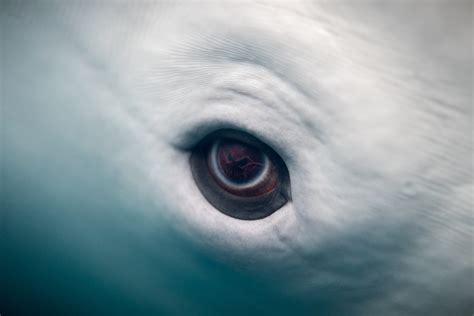 whale eye beluga whale eye eric kilby flickr