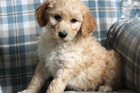 mini goldendoodles lancaster pa goldendoodle for sale in lancaster