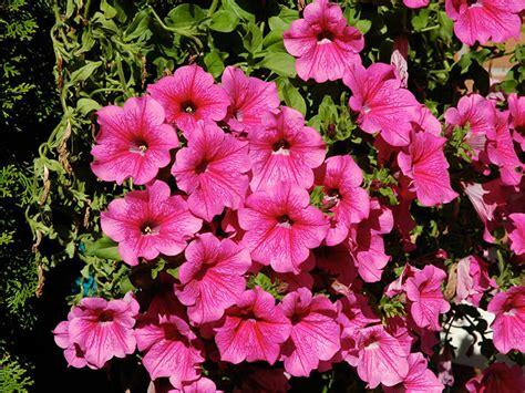 fiore petunia petunia petunia giardinaggio mobi
