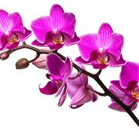 Orchidee Come Curarle In Appartamento by Orchidee Come Curarle Orchidee Come Curare Le Orchidee