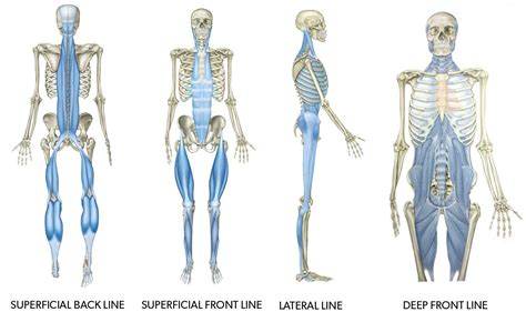 Dorable Tom Myers Anatomy Trains Courses Photos - Image of internal ...