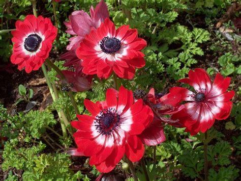 fiori anemoni foto anemoni fiori bulbi anemoni bulbi fiori