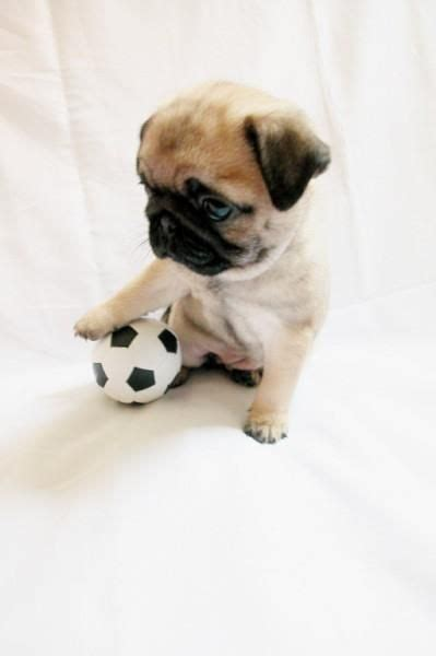 pug bebe carlino bebe futbolista pugs pug bebe and baby pugs