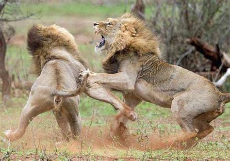 imagenes leones peleando dos leones pelean por una leona spanish xinhuanet com
