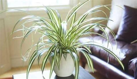 Beau Plante Verte D Interieur Pas Cher #5: plante-araignee-depolluante-interieur(1).jpg