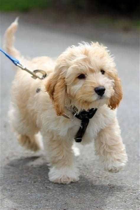 mini labradoodles louisiana 25 best ideas about labradoodle puppies on