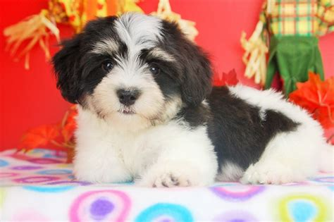 havanese puppies for sale florida royal flush havanese puppies for sale in florida