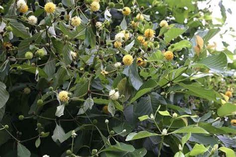 tree buy live kratom plants for sale buy mitragyna speciosa trees