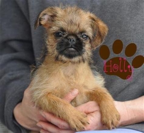 brussels griffon puppies for sale brussels griffon puppies florida sale