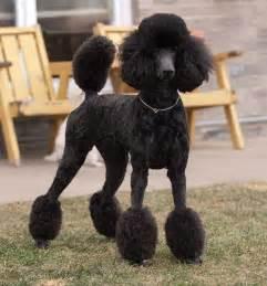 standard poodle hair styles best 20 black standard poodle ideas on pinterest