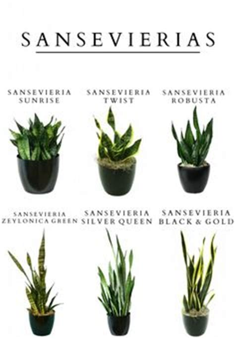 1000 images about snake plants on pinterest snake plant
